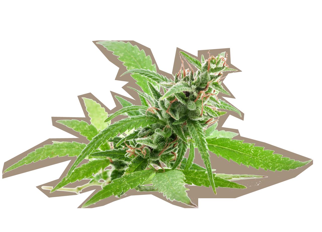 cropped cannabis bud